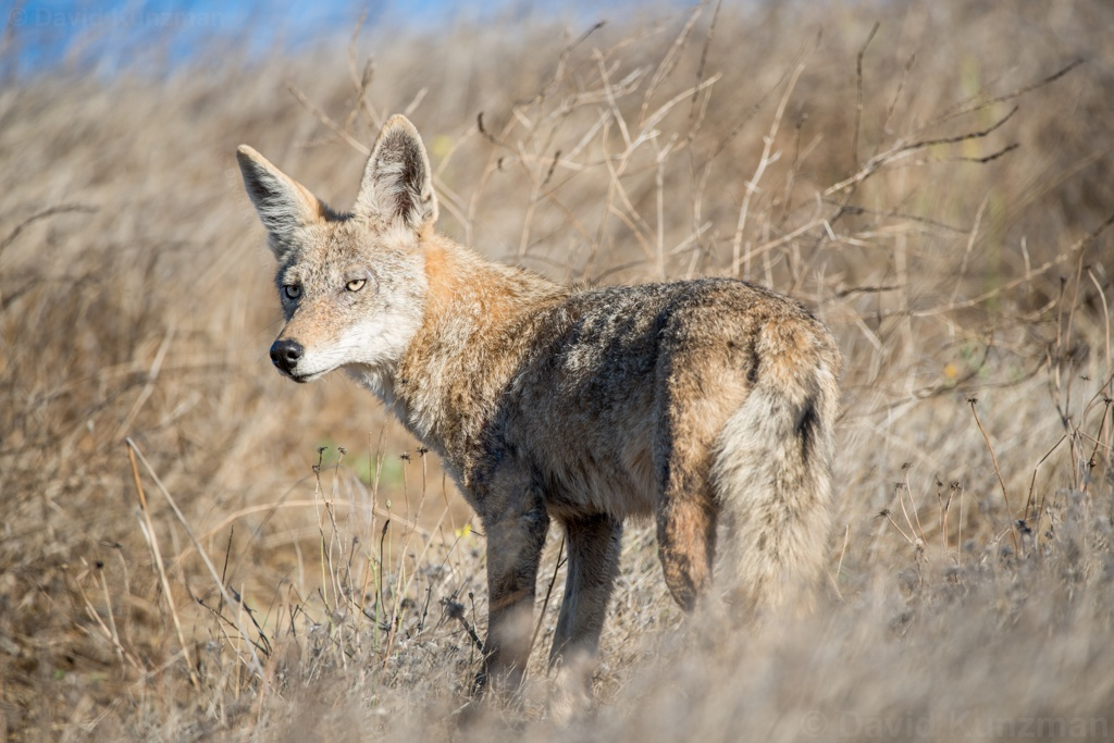 A photo of a coyote scouting for breakfast in the early morning hours.  Its fur blends quite well with the golden grass California is known for.