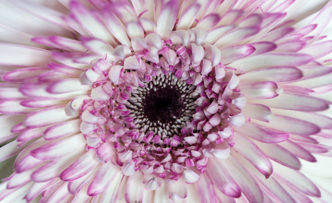 An extreme close-up view of a white and pink colored aster flower.  The overall photo is 80 megapixels.