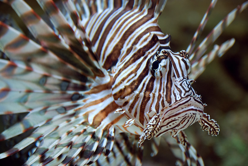 A photograph of a white and brown striped lionfish.